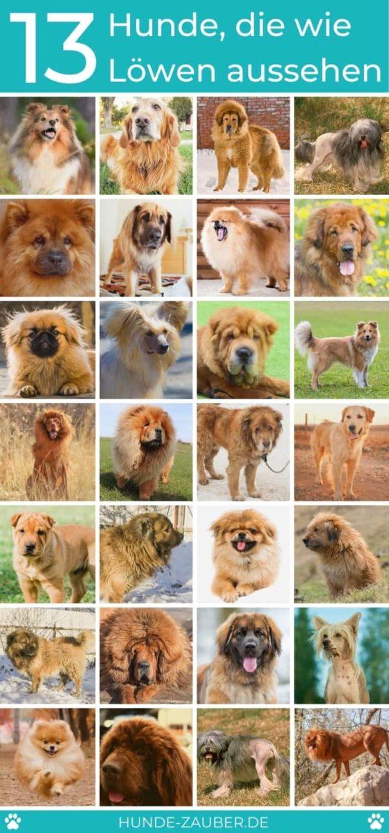 13 Hunde, die wie Löwen aussehen