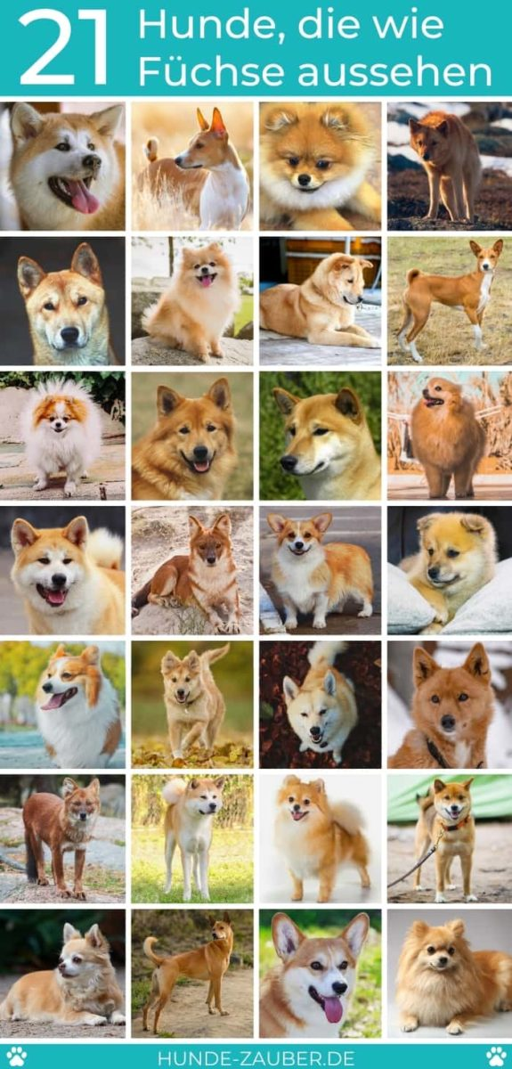 21 Hunde, die wie Füchse aussehen