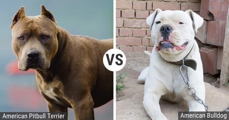American Pitbull Terrier vs. American Bulldog