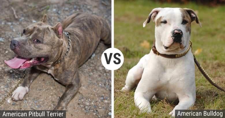 American Pitbull Terrier vs. Bulldog