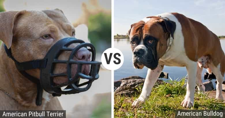 Pitbull vs. American Bulldog