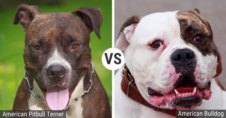 Pitbull vs. Bulldog