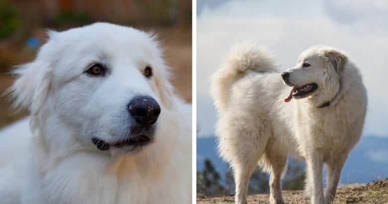 Pyrenäen-Berghund
