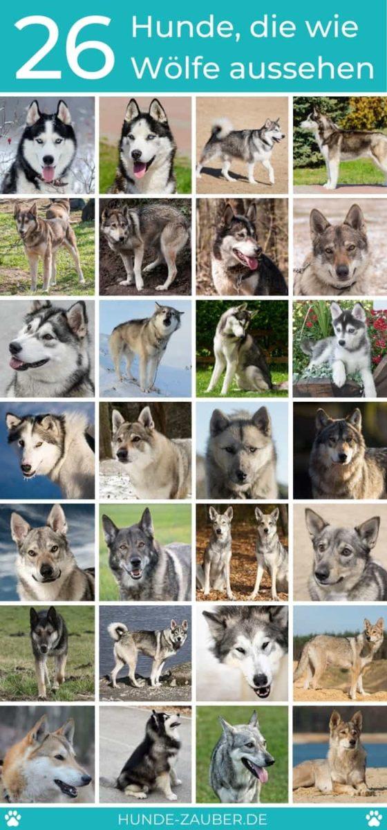 26 Hunde, die wie Wölfe aussehen