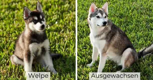 Alaskan Klee Klai als Welpe und ausgewachsen