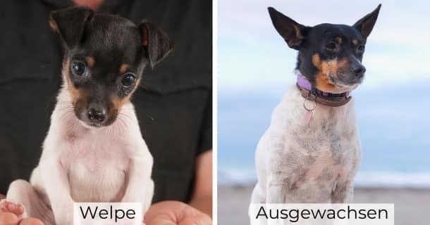 American Toy Terrier als Welpe und ausgewachsen