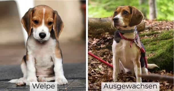 Beagle als Welpe und ausgewachsen