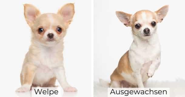 Chihuahua als Welpe und ausgewachsen