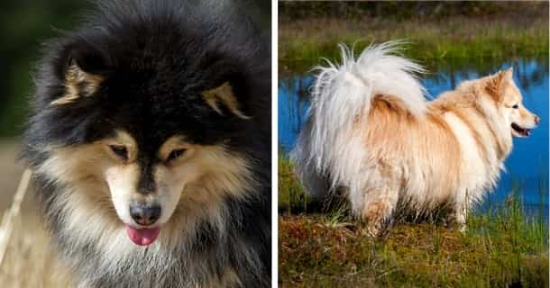 Finnischer Lapphund
