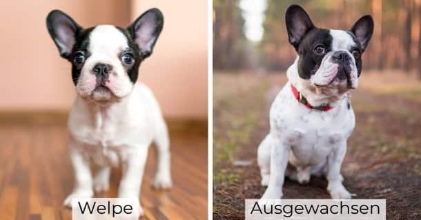 Französische Bulldogge als Welpe und ausgewachsen