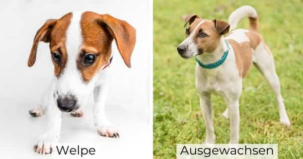 Jack Russel Terrier als Welpe und ausgewachsen
