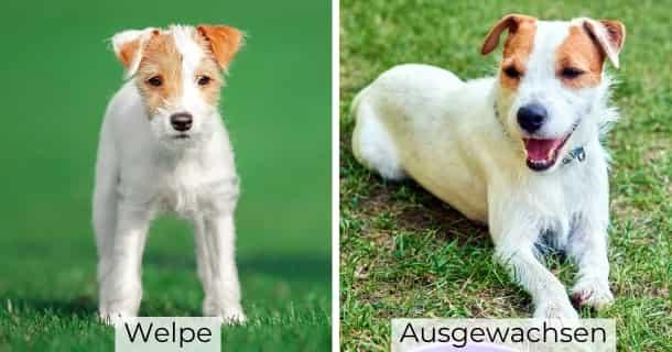 Parson Russell Terrier als Welpe und ausgewachsen