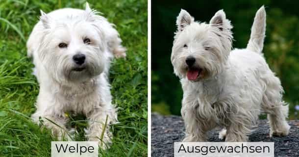 West Highland White Terrier als Welpe und ausgewachsen