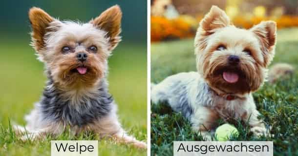 Yorkshire Terrier als Welpe und ausgewachsen