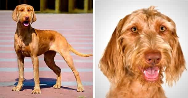 Drahthaariger Ungarischer Vorstehhund