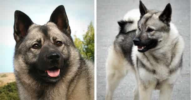 Norwegischer Elchhund Grau