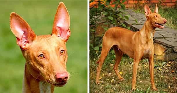Pharaonenhund