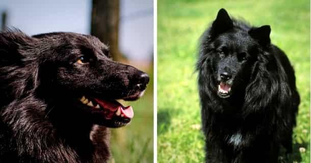 Schwedischer Lapphund