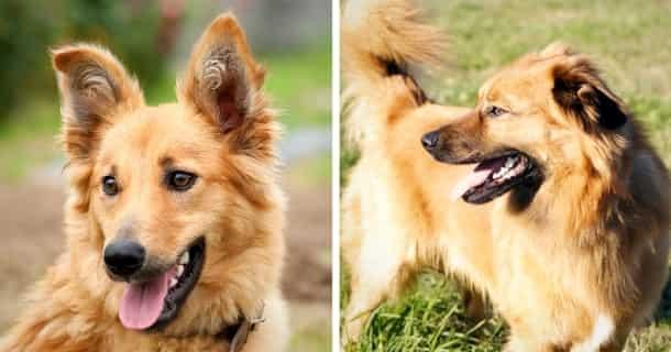Baskischer Schäferhund