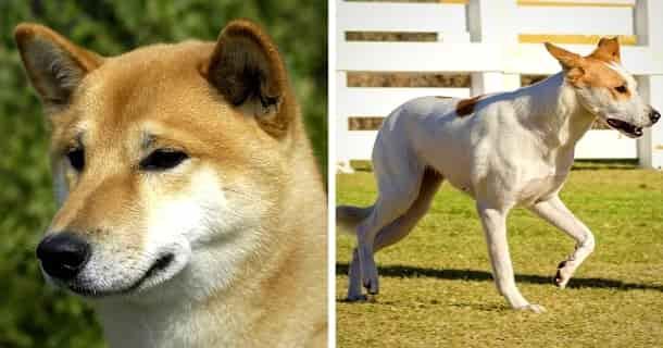 Kanaan-Hund