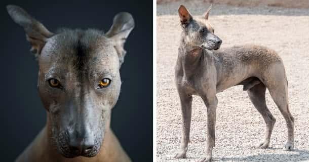 Peruanischer Nackthund