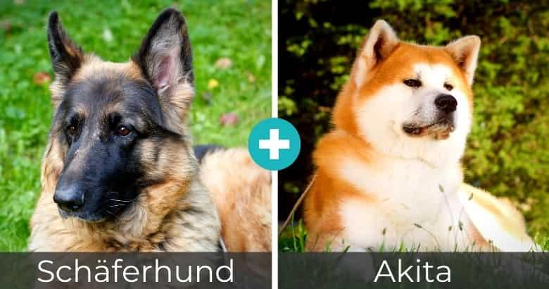 Schäferhund Akita Mix