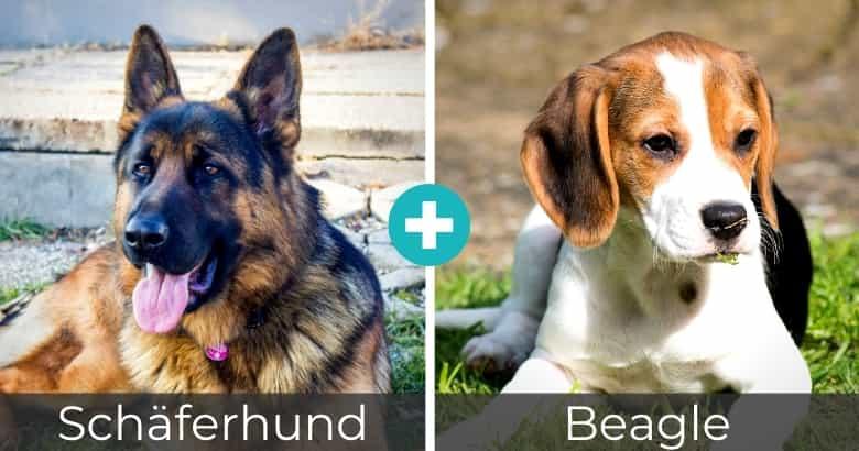 Schäferhund Beagle Mix