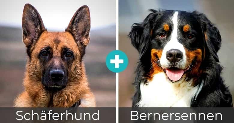 Schäferhund Bernersennen Mix