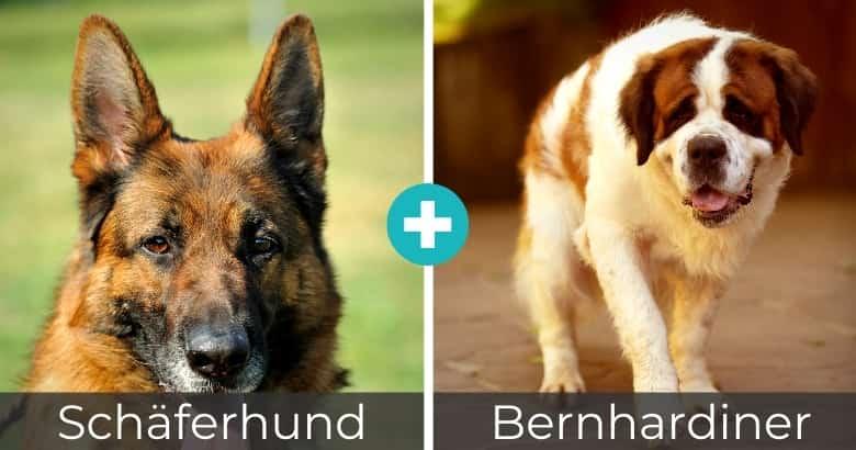 Schäferhund Bernhardiner Mix