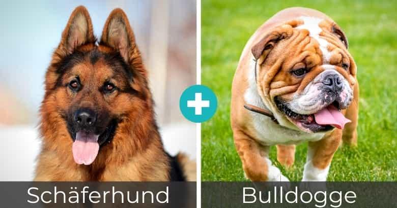 Schäferhund Bulldogge Mix