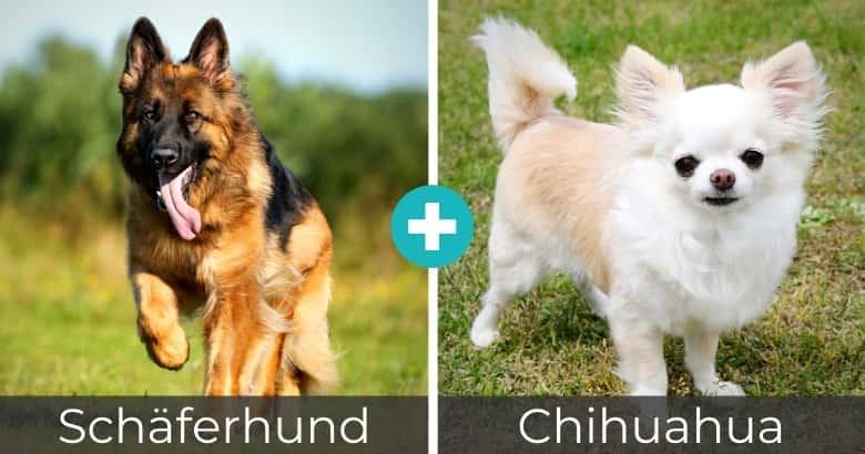 Schäferhund Chihuahua Mix