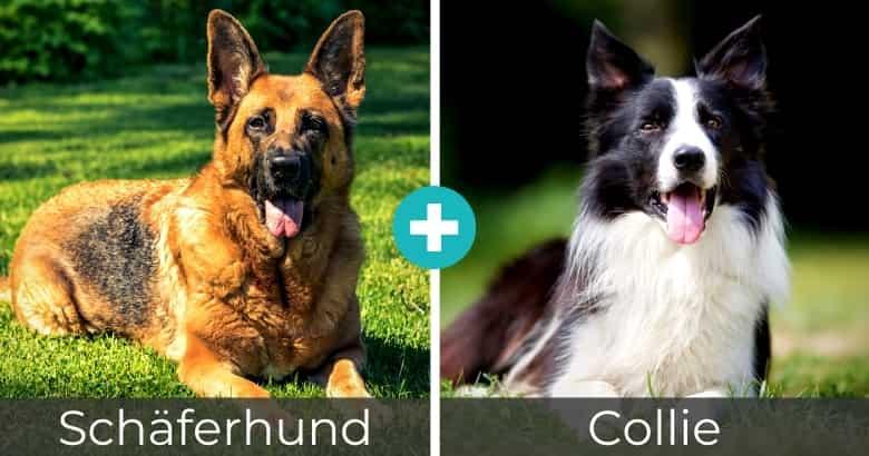 Schäferhund Collie Mix
