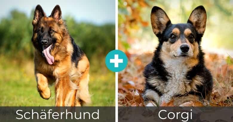 Schäferhund Corgi Mix