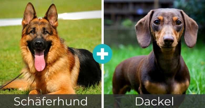 Schäferhund Dackel Mix