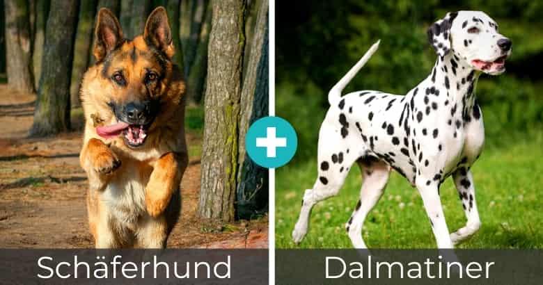 Schäferhund Dalmatiner Mix