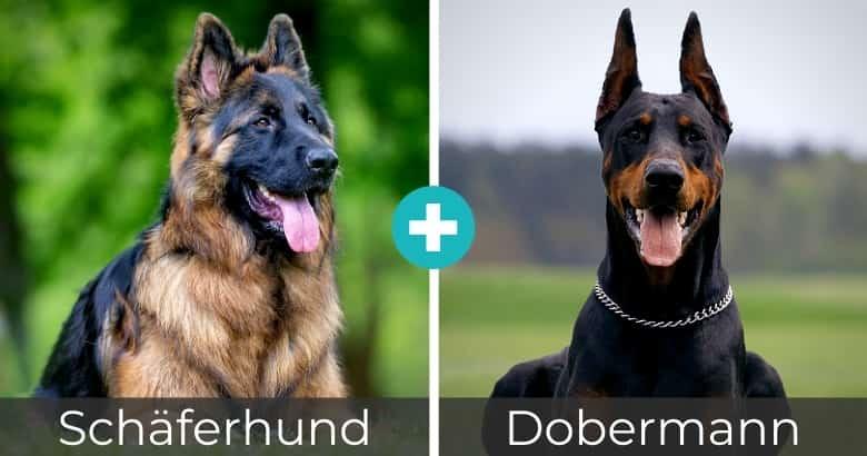 Schäferhund Dobermann Mix