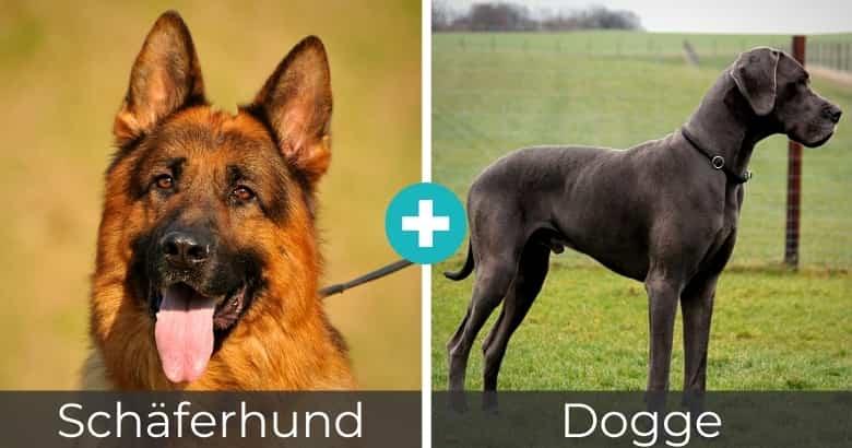 Schäferhund Dogge Mix