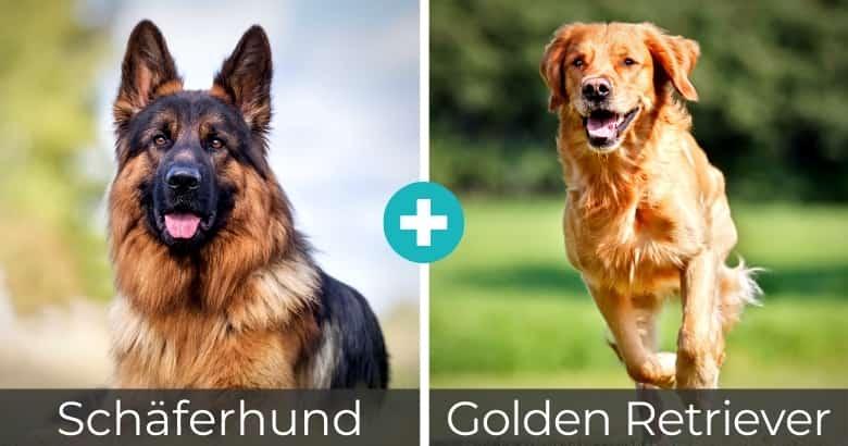 Schäferhund Golden Retriever Mix