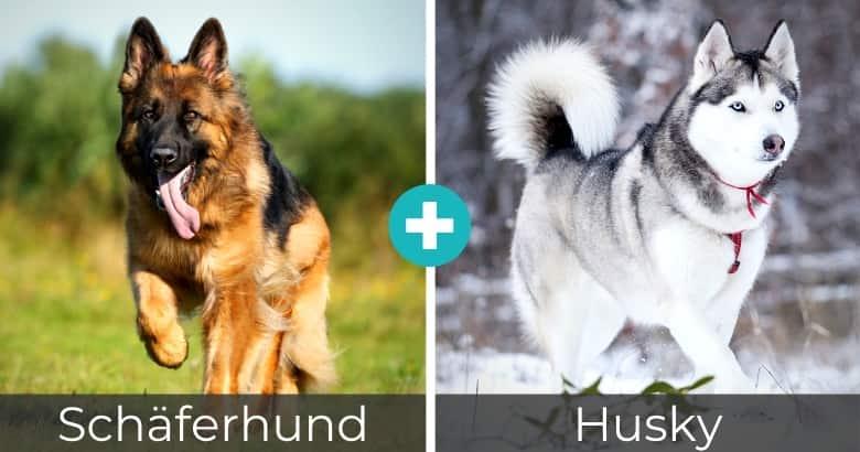 Schäferhund Husky Mix