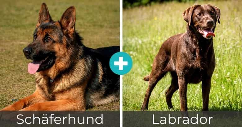 Schäferhund Labrador Mix