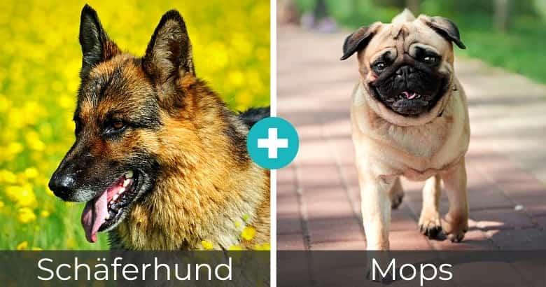 Schäferhund Mops Mix