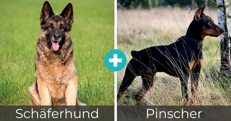 Schäferhund Pinscher Mix
