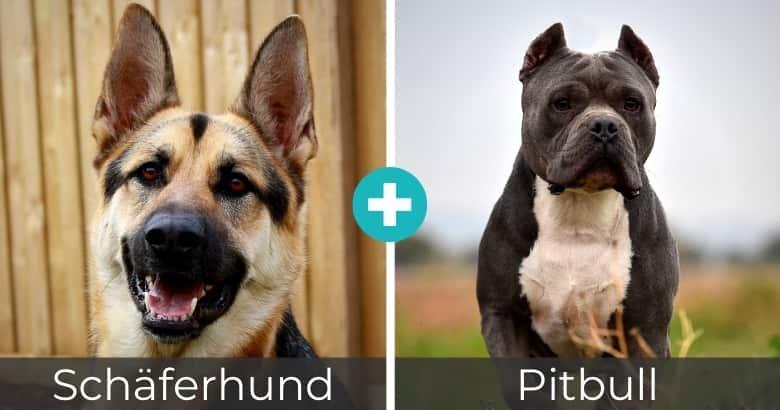 Schäferhund Pitbull Mix