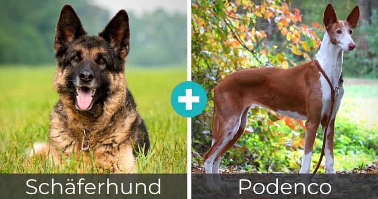 Schäferhund Podenco Mix