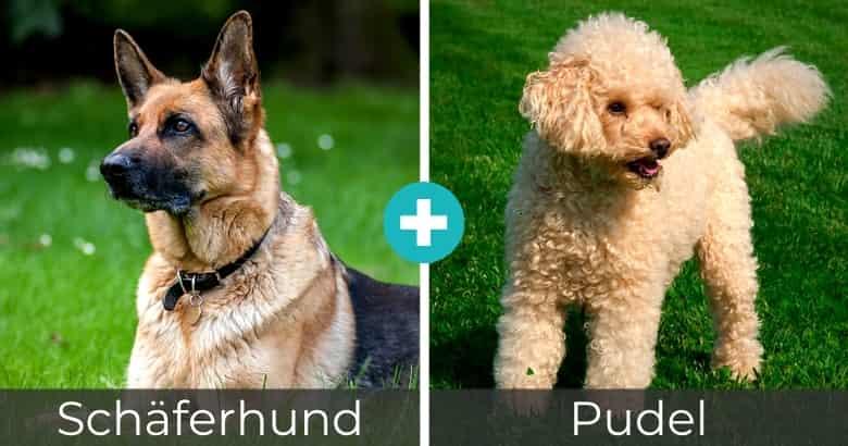 Schäferhund Pudel Mix