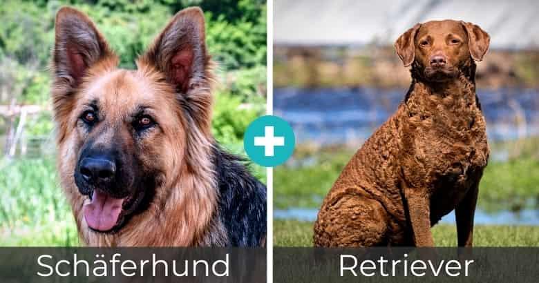 Schäferhund Retriever Mix