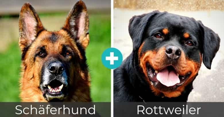 Schäferhund Rottweiler Mix