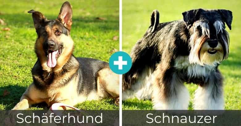 Schäferhund Schnauzer Mix