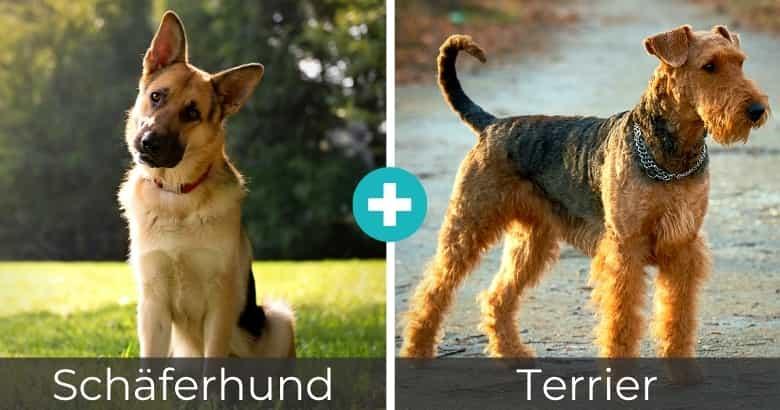 Schäferhund Terrier Mix