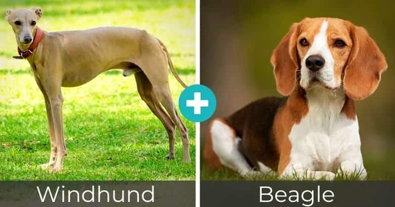Windhund Beagle Mix